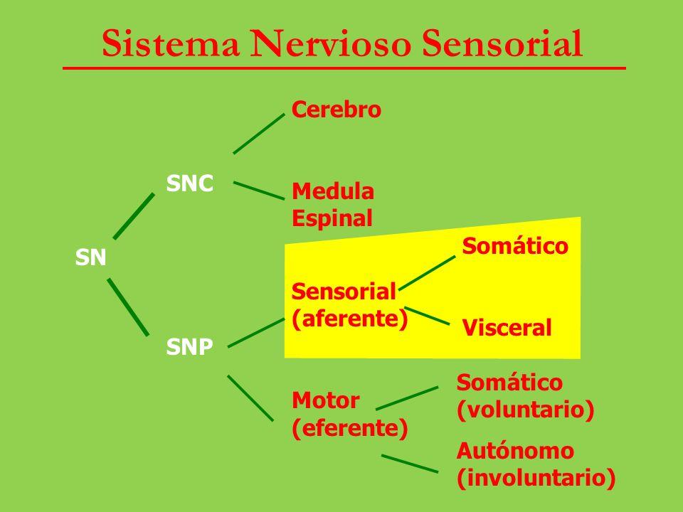 Sistema Nervioso Sensorial SN SNC SNP Cerebro Medula Espinal Sensorial (aferente) Motor (eferente) Somático Visceral Somático (voluntario) Autónomo (i