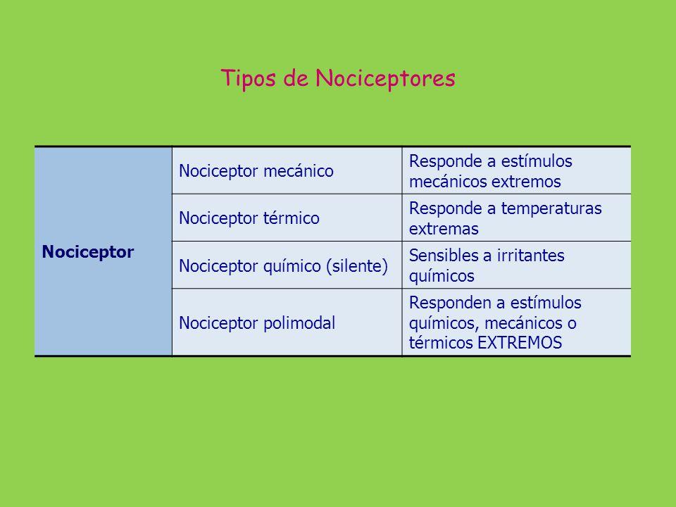 Nociceptor Nociceptor mecánico Responde a estímulos mecánicos extremos Nociceptor térmico Responde a temperaturas extremas Nociceptor químico (silente