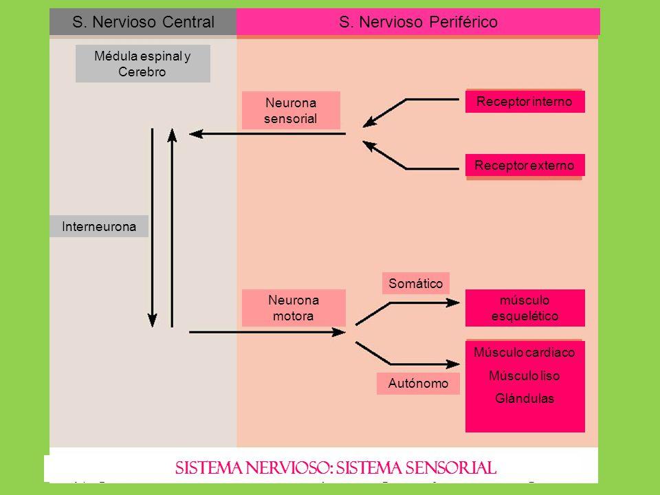 SISTEMA NERVIOSO: SISTEMA SENSORIAL S. Nervioso CentralS. Nervioso Periférico Receptor interno Receptor externo músculo esquelético Músculo cardiaco M