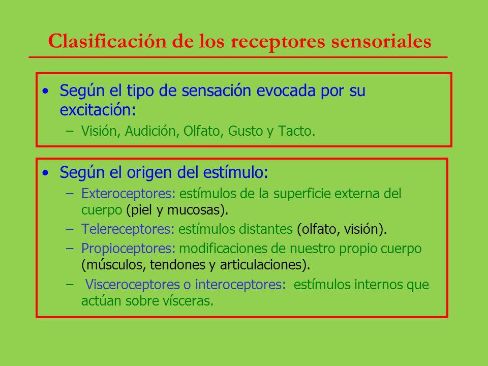 Clasificación de los receptores sensoriales Según el tipo de sensación evocada por su excitación: –Visión, Audición, Olfato, Gusto y Tacto. Según el o