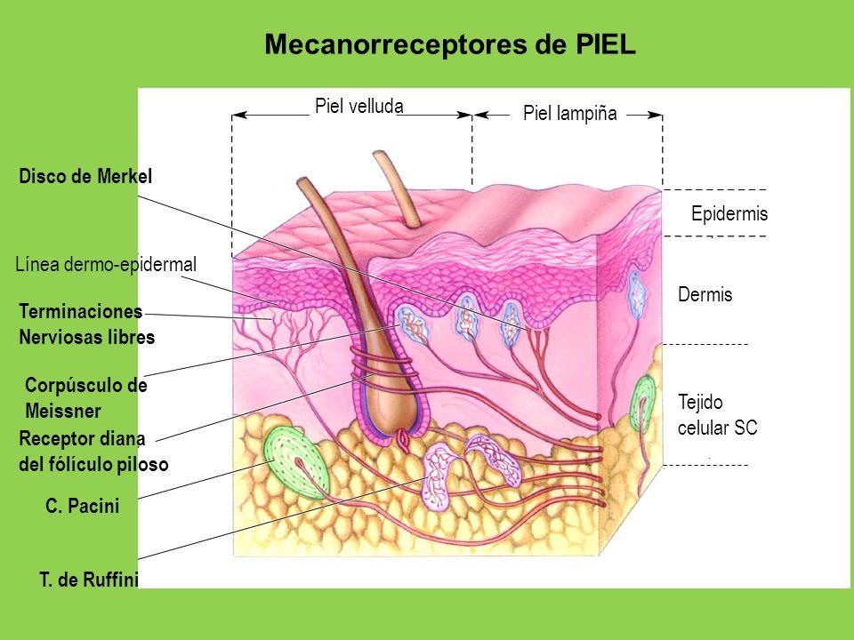 Piel velluda Piel lampiña Epidermis Dermis Tejido celular SC Disco de Merkel Línea dermo-epidermal Terminaciones Nerviosas libres Corpúsculo de Meissn