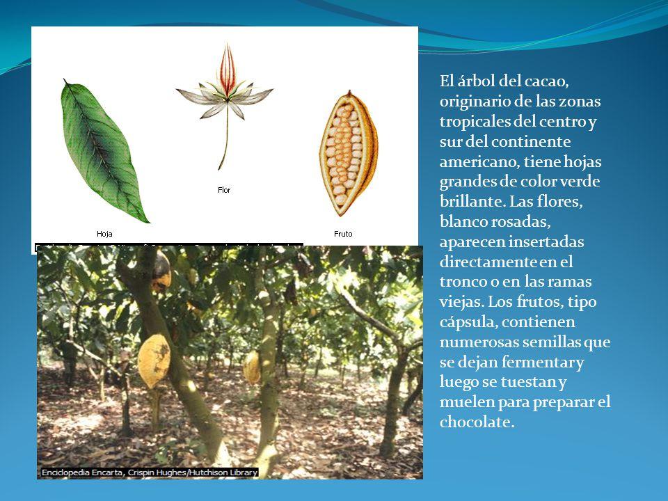 El árbol del cacao, originario de las zonas tropicales del centro y sur del continente americano, tiene hojas grandes de color verde brillante.