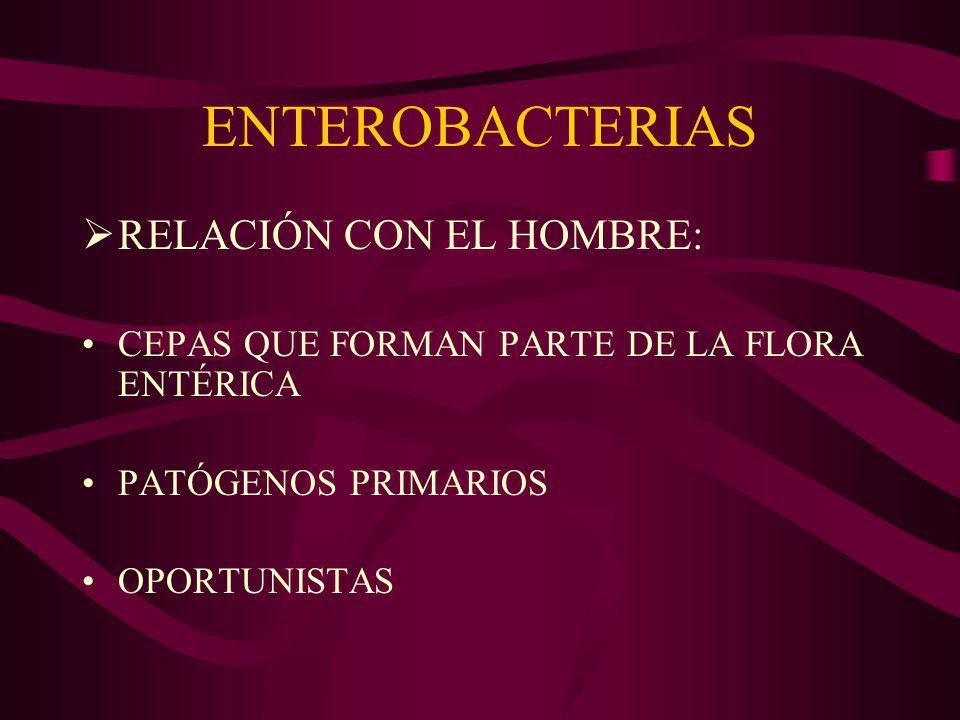 ENTEROBACTERIAS FLORA ENTÉRICA: E coli, Klebsiella, Enterobacter, Proteus PATÓGENOS PRIMARIOS INFECCIONES SISTÉMICAS Yersinia pestis Salmonella ENTERITIS E coli Salmonella Shigella INFECCIONES URINARIAS E coli Klebsiella Proteus OTRAS INFEC HERIDAS E coli Klebsiella RESPIRATORIAS Klebsiella pneumoniae AGENTES FRECUENTES DE INFECCIONES NOSOCOMIALES Enterobacter Serratia E coli