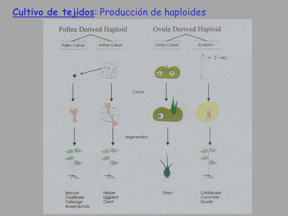 Cultivo de tejidos: Producción de haploides