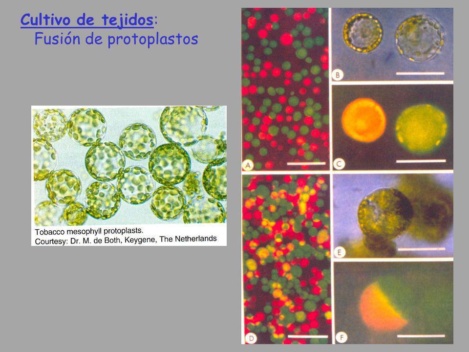 Cultivo de tejidos: Fusión de protoplastos