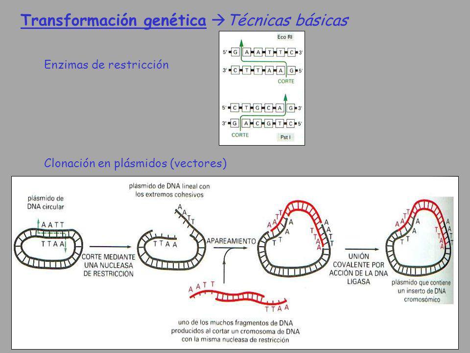 Transformación genética Técnicas básicas Enzimas de restricción Clonación en plásmidos (vectores)