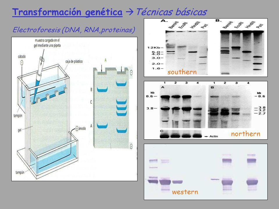 Transformación genética Técnicas básicas Electroforesis (DNA, RNA,proteinas) southern northern western
