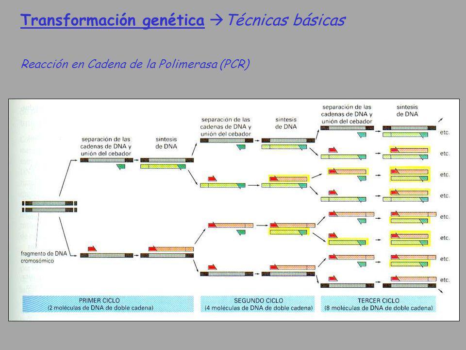Transformación genética Técnicas básicas Reacción en Cadena de la Polimerasa (PCR)