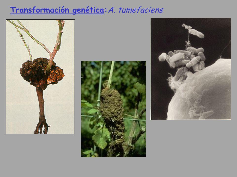 Transformación genética:A. tumefaciens