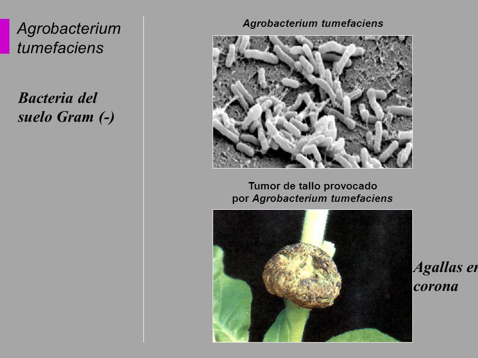 Agrobacterium tumefaciens Tumor de tallo provocado por Agrobacterium tumefaciens Agrobacterium tumefaciens Bacteria del suelo Gram (-) Agallas en coro