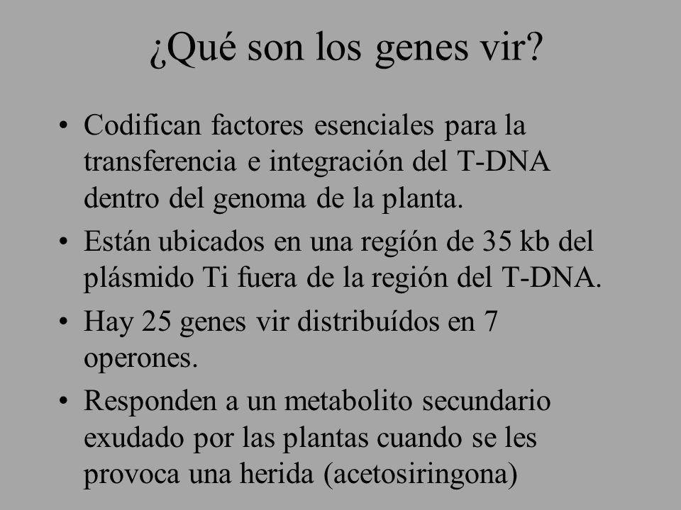 ¿Qué son los genes vir? Codifican factores esenciales para la transferencia e integración del T-DNA dentro del genoma de la planta. Están ubicados en
