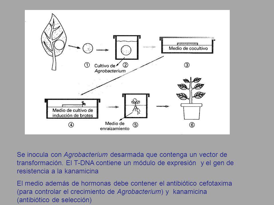 Se inocula con Agrobacterium desarmada que contenga un vector de transformación. El T-DNA contiene un módulo de expresión y el gen de resistencia a la