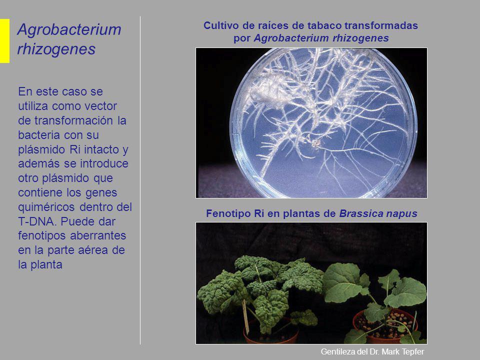 Cultivo de raíces de tabaco transformadas por Agrobacterium rhizogenes Fenotipo Ri en plantas de Brassica napus Gentileza del Dr. Mark Tepfer Agrobact