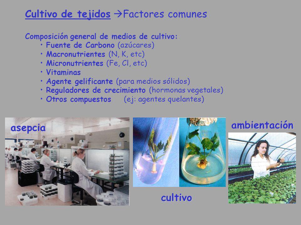 Cultivo de tejidos Factores comunes Composición general de medios de cultivo: Fuente de Carbono (azúcares) Macronutrientes (N, K, etc) Micronutrientes