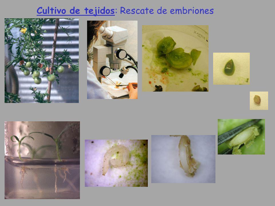 Cultivo de tejidos: Rescate de embriones