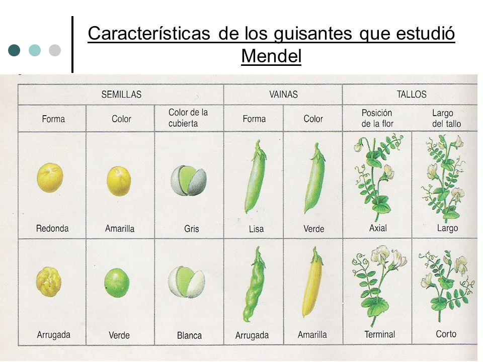 Características de los guisantes que estudió Mendel Características en contraste (fáciles de distinguir) de los guisantes que estudió Mendel