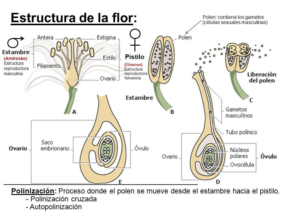 Pistilo (Androceo) Estructura reproductora masculina. Polen: contiene los gametos (células sexuales masculinas) Estructura de la flor: (Gineceo) Estru