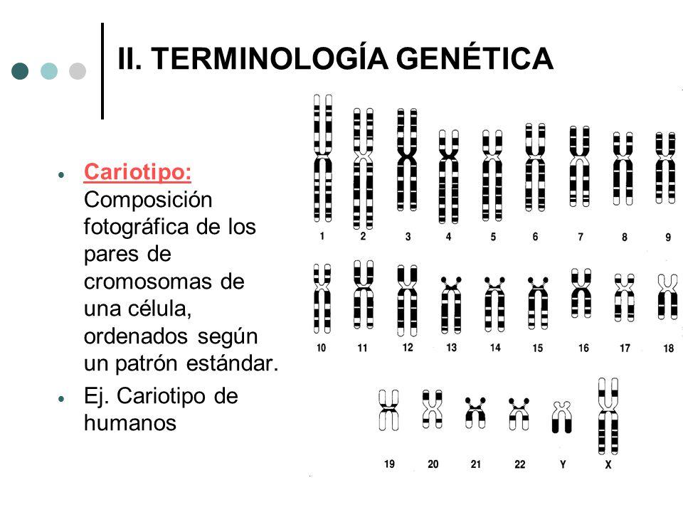 II. TERMINOLOGÍA GENÉTICA Cariotipo: Composición fotográfica de los pares de cromosomas de una célula, ordenados según un patrón estándar. Ej. Carioti