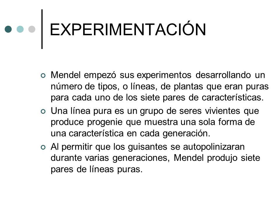 EXPERIMENTACIÓN Mendel empezó sus experimentos desarrollando un número de tipos, o líneas, de plantas que eran puras para cada uno de los siete pares