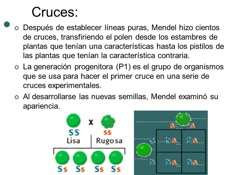 Cruces: Después de establecer líneas puras, Mendel hizo cientos de cruces, transfiriendo el polen desde los estambres de plantas que tenían una caract