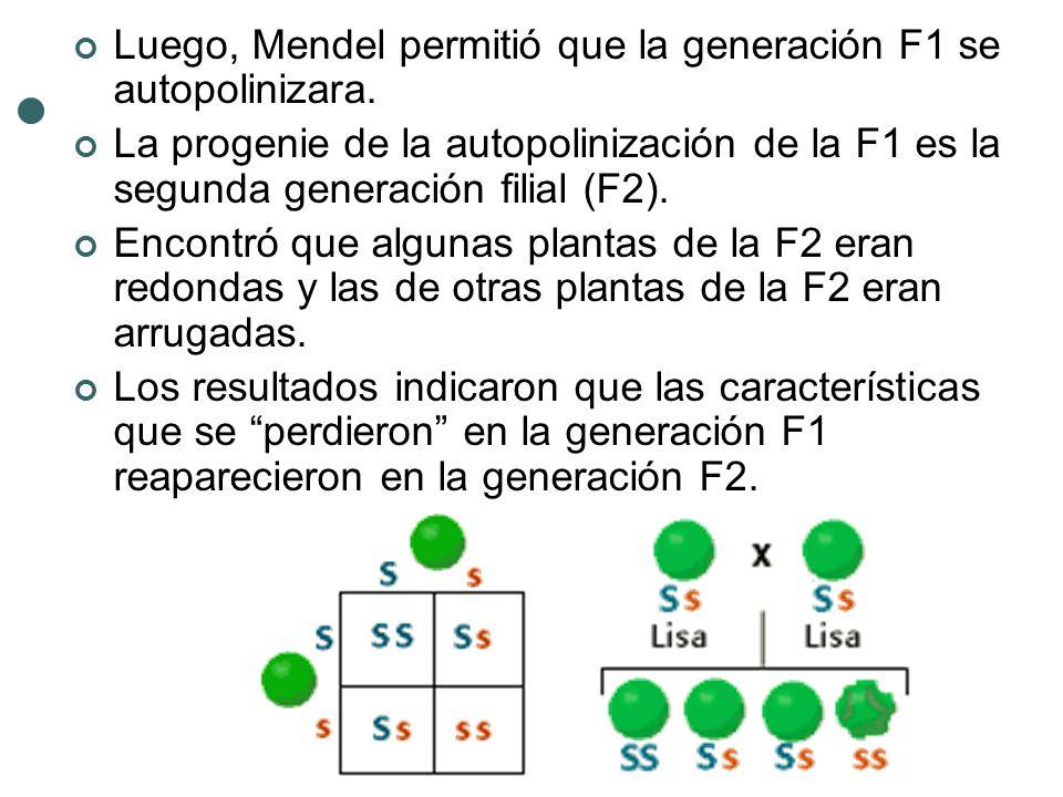 Luego, Mendel permitió que la generación F1 se autopolinizara. La progenie de la autopolinización de la F1 es la segunda generación filial (F2). Encon