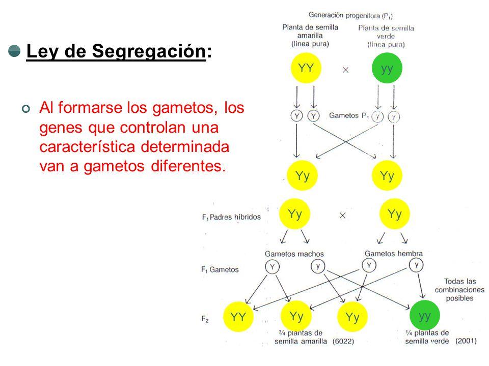 YYyy Yy YY yy Ley de Segregación: Al formarse los gametos, los genes que controlan una característica determinada van a gametos diferentes.