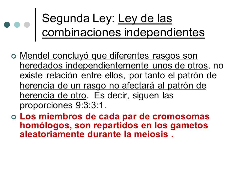 Segunda Ley: Ley de las combinaciones independientes Mendel concluyó que diferentes rasgos son heredados independientemente unos de otros, no existe r