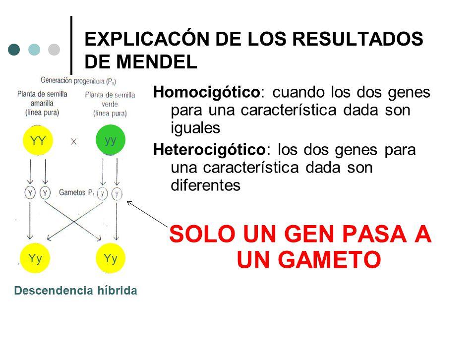 Homocigótico: cuando los dos genes para una característica dada son iguales Heterocigótico: los dos genes para una característica dada son diferentes