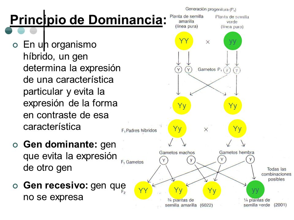 YYyy Yy YY yy Principio de Dominancia: En un organismo híbrido, un gen determina la expresión de una característica particular y evita la expresión de
