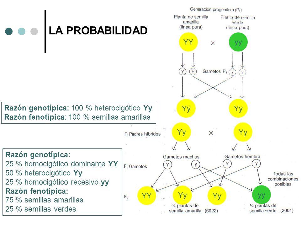 LA PROBABILIDAD YYyy Yy YY yy Razón genotípica: 100 % heterocigótico Yy Razón fenotípica: 100 % semillas amarillas Razón genotípica: 25 % homocigótico