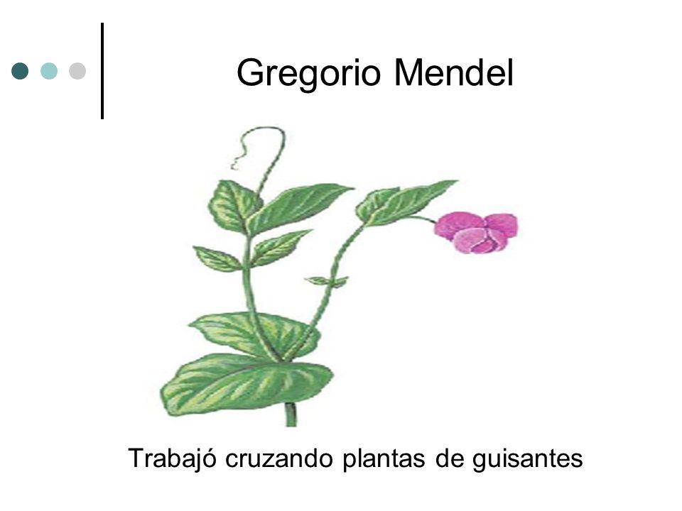 Gregorio Mendel Trabajó cruzando plantas de guisantes