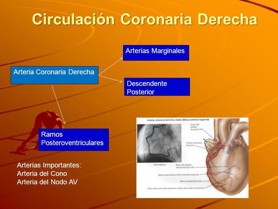 Arteria Coronaria Derecha Arterias Marginales Descendente Posterior Ramos Posteroventriculares Circulación Coronaria Derecha Arterias Importantes: Arteria del Cono Arteria del Nodo AV