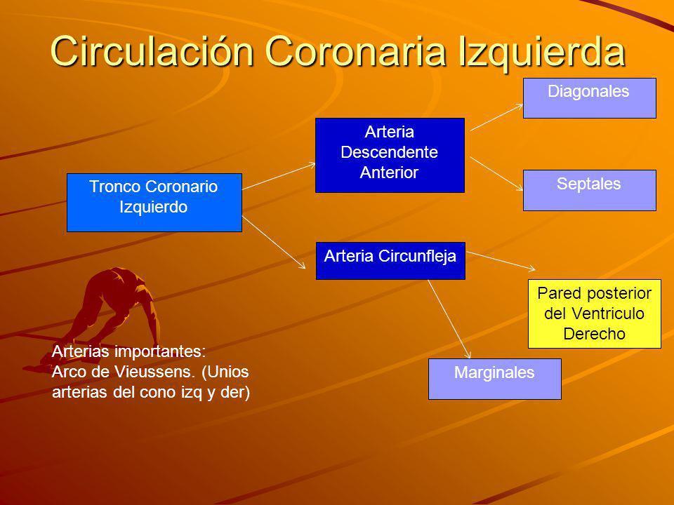Circulación Coronaria Izquierda Tronco Coronario Izquierdo Arteria Descendente Anterior Arteria Circunfleja Diagonales Septales Marginales Arterias importantes: Arco de Vieussens.