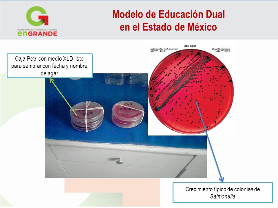 Modelo de Educación Dual en el Estado de México Caja Petri con medio XLD listo para sembrar con fecha y nombre de agar Crecimiento típico de colonias