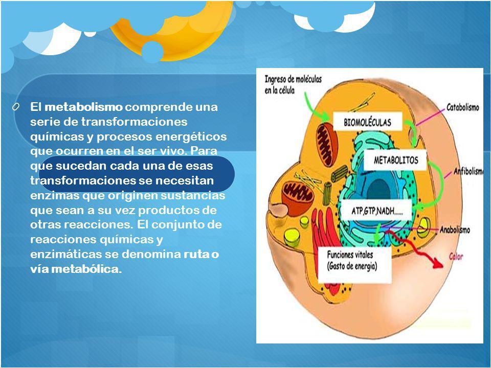 El metabolismo comprende una serie de transformaciones químicas y procesos energéticos que ocurren en el ser vivo. Para que sucedan cada una de esas t