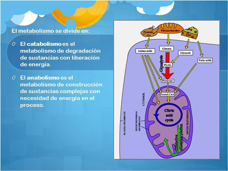 El metabolismo se divide en: El catabolismo es el metabolismo de degradación de sustancias con liberación de energía. El anabolismo es el metabolismo