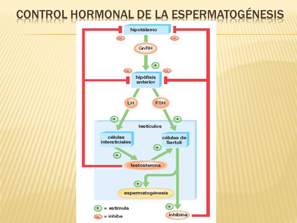 Las espermatogonias crecen y se diferencian para producir espermatocitos, los cuales experimentan meiosis y luego diferenciación para producir esperma