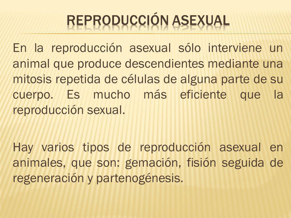 En la reproducción asexual sólo interviene un animal que produce descendientes mediante una mitosis repetida de células de alguna parte de su cuerpo.