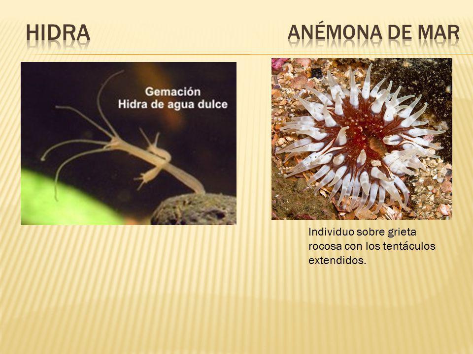 En este proceso cada célula del organismo produce una yema o brote que se nutre y crece para convertirse en un nuevo individuo que tiene la facultad d
