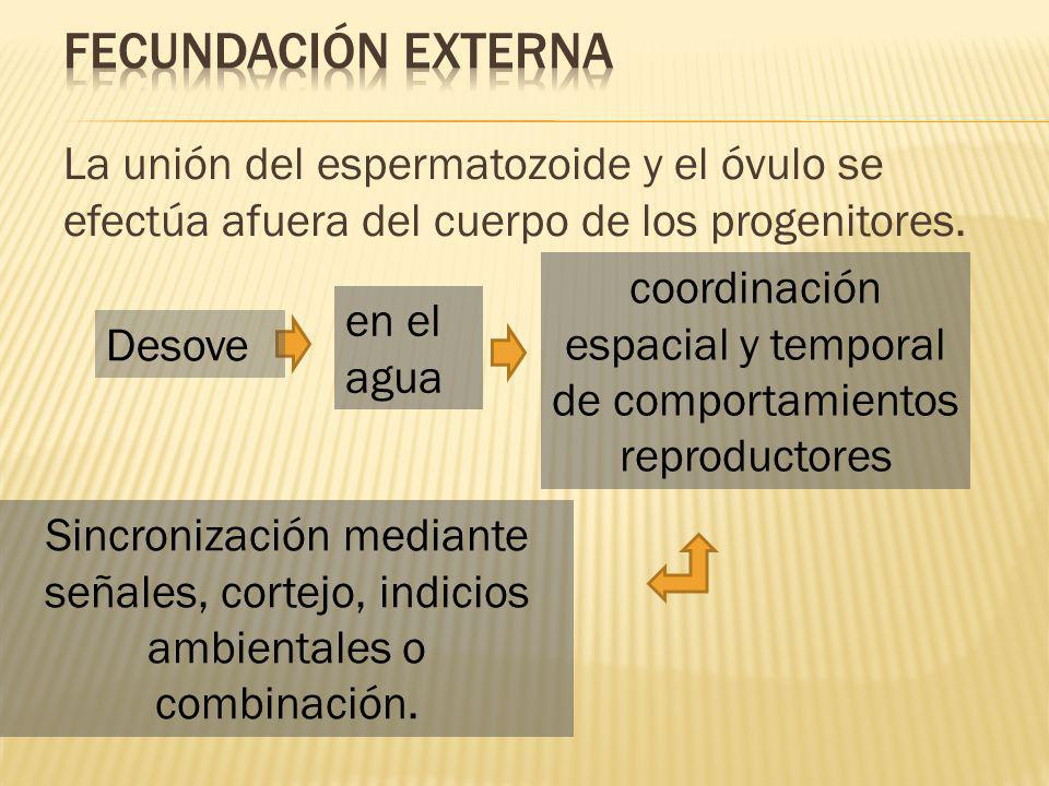 La unión del espermatozoide y el óvulo se efectúa afuera del cuerpo de los progenitores.