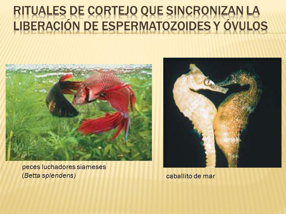 peces luchadores siameses (Betta splendens) caballito de mar