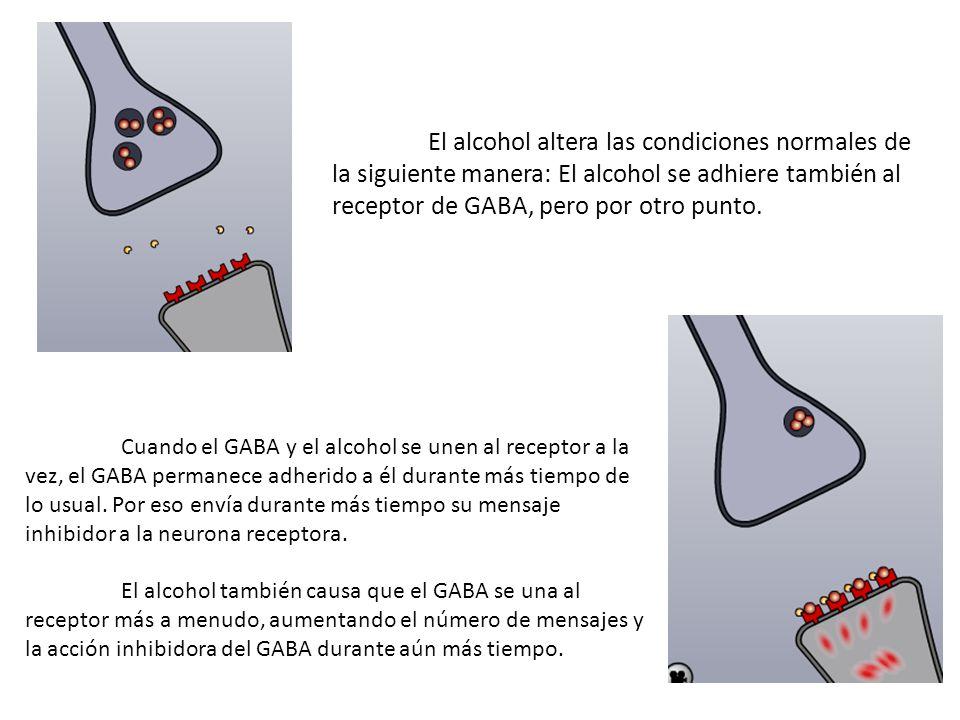 El alcohol altera las condiciones normales de la siguiente manera: El alcohol se adhiere también al receptor de GABA, pero por otro punto. Cuando el G