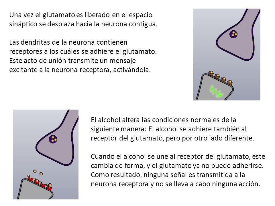 Una vez el glutamato es liberado en el espacio sináptico se desplaza hacia la neurona contigua. Las dendritas de la neurona contienen receptores a los