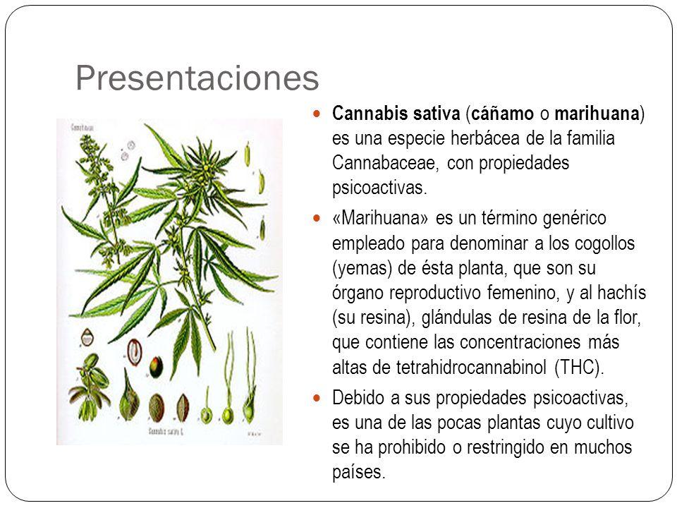 Presentaciones Cannabis sativa ( cáñamo o marihuana ) es una especie herbácea de la familia Cannabaceae, con propiedades psicoactivas. «Marihuana» es