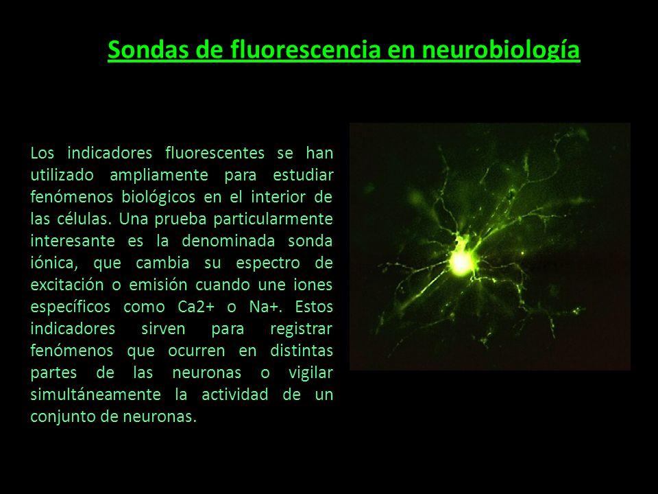 Sondas de fluorescencia en neurobiología Los indicadores fluorescentes se han utilizado ampliamente para estudiar fenómenos biológicos en el interior