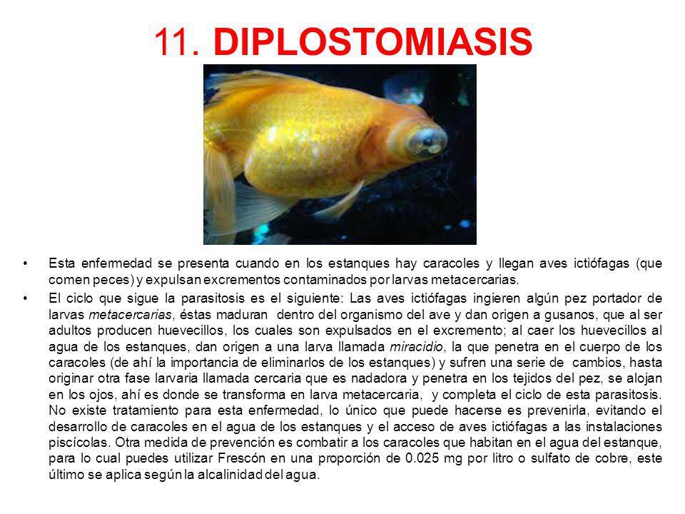 11. DIPLOSTOMIASIS Esta enfermedad se presenta cuando en los estanques hay caracoles y llegan aves ictiófagas (que comen peces) y expulsan excrementos