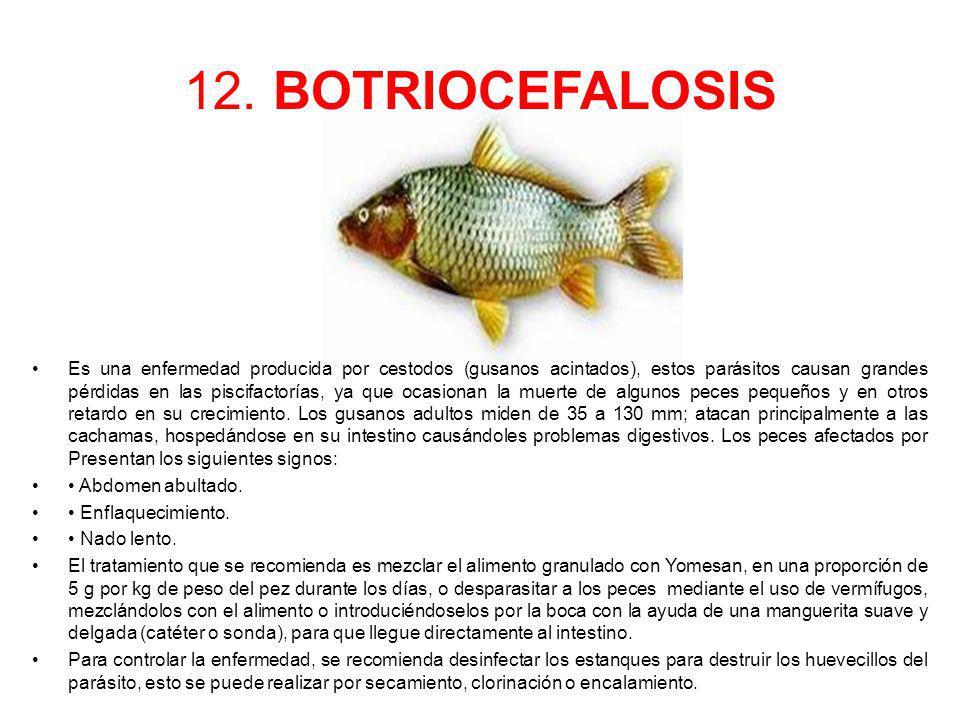 12. BOTRIOCEFALOSIS Es una enfermedad producida por cestodos (gusanos acintados), estos parásitos causan grandes pérdidas en las piscifactorías, ya qu