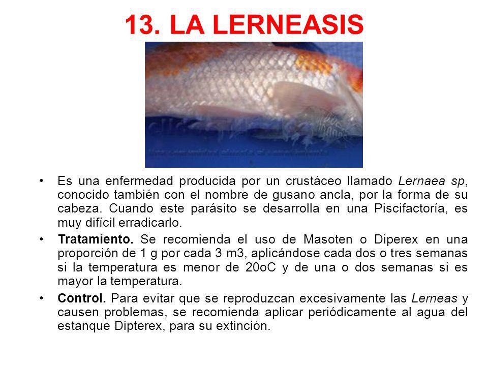 13. LA LERNEASIS Es una enfermedad producida por un crustáceo llamado Lernaea sp, conocido también con el nombre de gusano ancla, por la forma de su c
