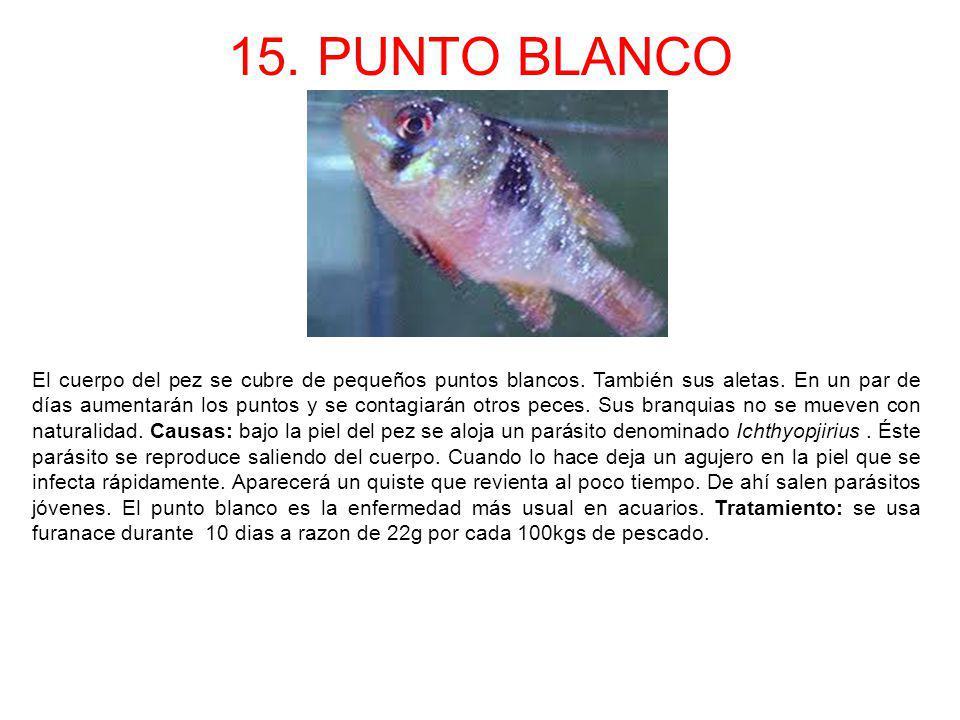 15. PUNTO BLANCO El cuerpo del pez se cubre de pequeños puntos blancos. También sus aletas. En un par de días aumentarán los puntos y se contagiarán o