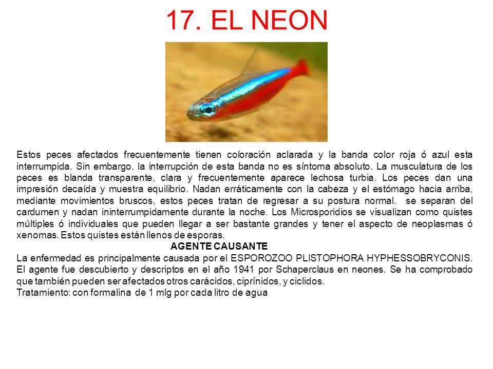 17. EL NEON Estos peces afectados frecuentemente tienen coloración aclarada y la banda color roja ó azul esta interrumpida. Sin embargo, la interrupci